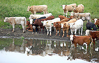 Cows gather around a watering hole in Bowmanville, Onarario, Canada in June 2007. (Photo by Brian Cleary/www.bcpix.com)
