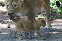 Baby lions in Budapest Zoo