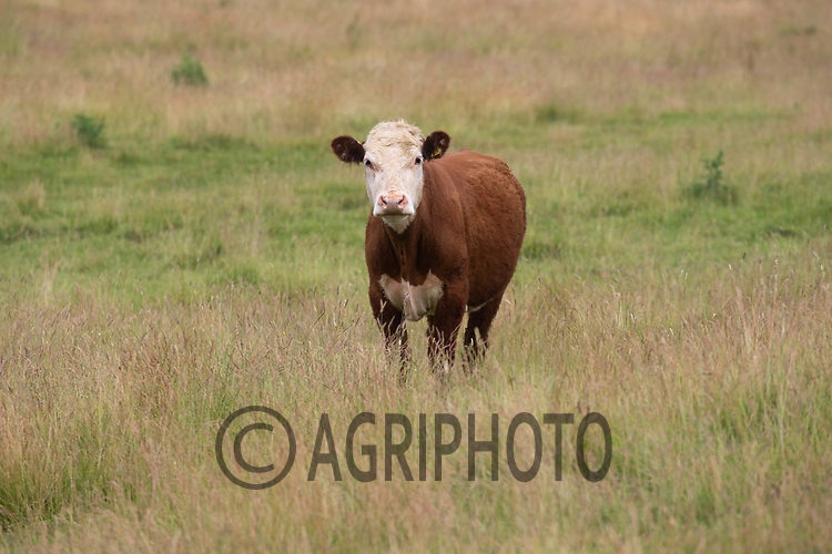 20.6.2020 Store cattle grazing in long grass <br /> ©Tim Scrivener Photographer 07850 303986<br />      ....Covering Agriculture In The UK.