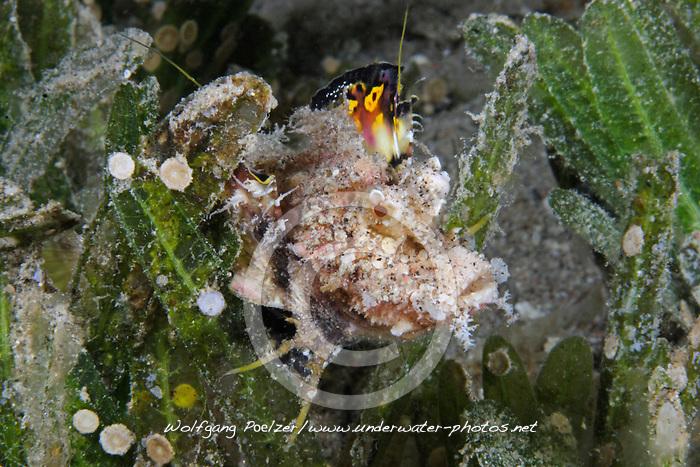 junger Teufelsfisch, juvenile Filament devilfish under water, Inimicus filamentosus,  Dahab, Ägypten, Rotes Meer