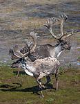 Arctic Canada, caribou (Rangifer tarandus), status: vulnerable