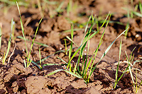 Winter wheat plants - Lincolnshire, February