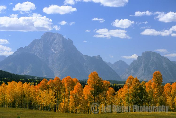 Mount Moran looms behind yellow aspen trees in Grand teton National Park, Wyoming.