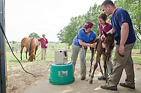 Dr. Heath King with Class of 2014 students Annie Strohm, Janet Koester (background with mare) and Anna Lott (blue scrub top) ultrasound lungs of foal.<br /> (Pegasus Press Summer 2013)
