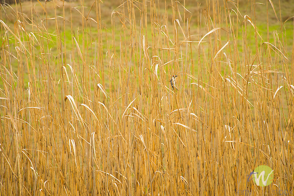 Marsh grass with nuttall's woodpecker.