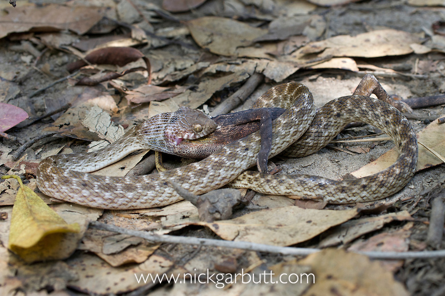 Endemic colubrid snake (Madagascariophis sp.) predating / eating a small Warty Chameleon (Furcifer verrucosus). Transition forest area, Andohahela National Park, southern Madagascar.