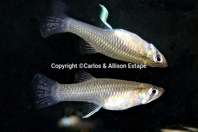 Gambusia affinis, Western mosquitofish, Florida Keys