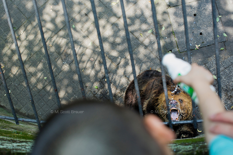 A father and child pour milk into the mouth of a Tibetan Bear in the zoo in Chongqing, China. The bear stood and turned in circles for the gathered crowd, many of whom threw junk food down into the enclosure.