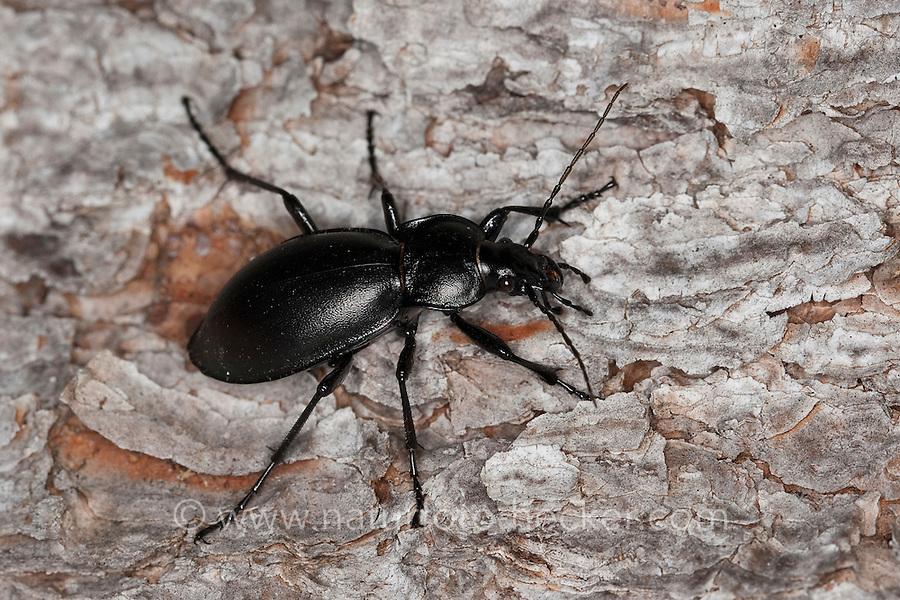 Glatter Laufkäfer, Glatt-Laufkäfer, Carabus glabratus, Oreocarabus glabratus, smooth ground beetle