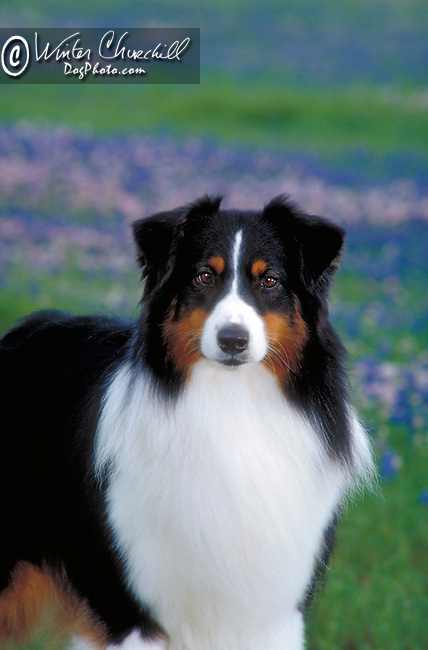 Australian Shepherd<br /> <br /> Shopping cart has 3 Tabs:<br /> <br /> 1) Rights-Managed downloads for Commercial Use<br /> <br /> 2) Print sizes from wallet to 20x30<br /> <br /> 3) Merchandise items like T-shirts and refrigerator magnets