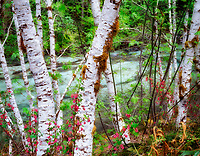 Alder trees and red current (Ribies sanguinium) along banks of Quartzville Creek National Wild and Scenic River, Oregon