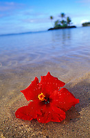 Red hibiscus floating in water on the beach on Ohau