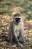 Vervet Monkey, Cercopithecus aethiops, Zimbabwe, Africa