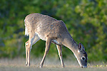 Florida Key Deer, Odocoileous virginianus clavium, smallest deer of North America, Key West, related to white tail deer.USA....