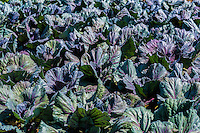 Crop of cabbage growing in an organic vegetable garden, Virginia, USA