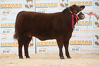 English Premier Show & Sale March 2019 <br /> Newark Livestock Market. Lincoln Red Show & Sale<br /> Lot 93 Female Champion Sharlock Hetty owned by Mr & Mrs P Sellers Not Sold<br /> ©Tim Scrivener Photographer 07850 303986<br />      ....Covering Agriculture In The UK....