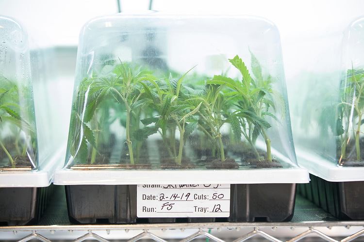 """Cannabis plant cuttings are seen in trays in the clone room at the production and packaging facility for Garden Remedies, a medical cannabis producer, in Fitchburg, Massachusetts, USA, on Fri., Feb. 22, 2019. Cuttings from """"mother"""" plants are harvested and replanted to create clones of productive plants."""