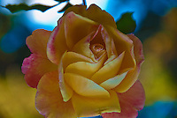Yellow, Peach Rose Blooming on Vine, Beautiful Image, Rosa, Rosaceae, bud, colorful, Blooming, perennial, flowering shrub, vine, genus, flower, fragrant, garden, romantic, rose, lovely, nature, organic, petal, plant, pretty,