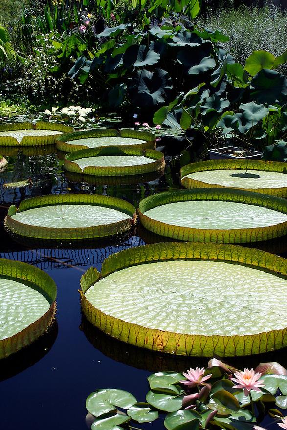 victoria water platters afloat in water garden