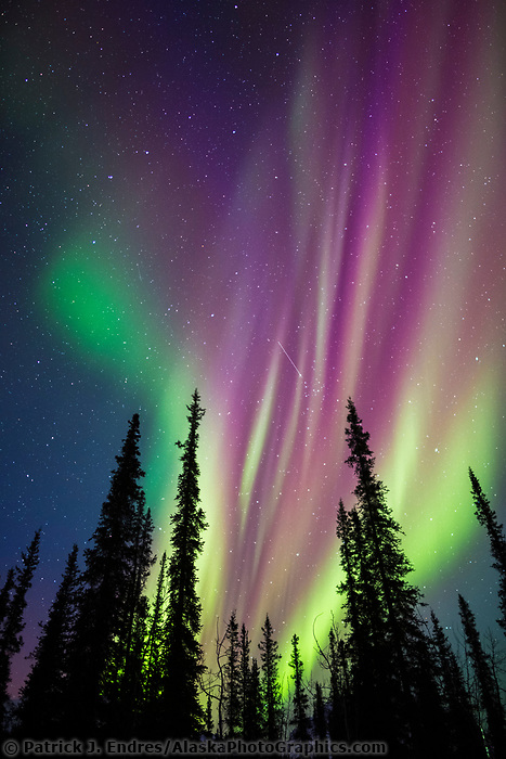 Colorful Northern Lights Over Spruce Trees In Alaskau0027s Arctic. Pictures