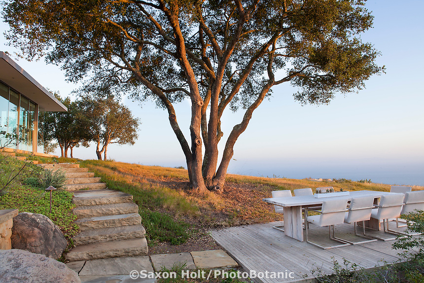 Oak trees (Quercus agrifolia) in California native plant garden around modern home on hill overlooking Pacific Ocean, Santa Barbara,
