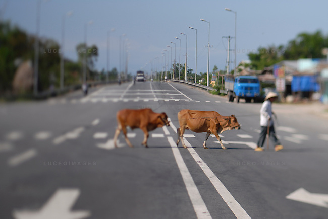 A man crosses the street with his cows in Ho Chi Minh City, Vietnam.