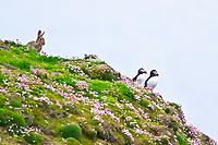 mountain hare, Lepus timidus, and Atlantic puffin, or common puffin, Fratercula arctica, adult, during breeding season, Sumburgh Head, Shetlands, Scotland, Atlantic Ocean
