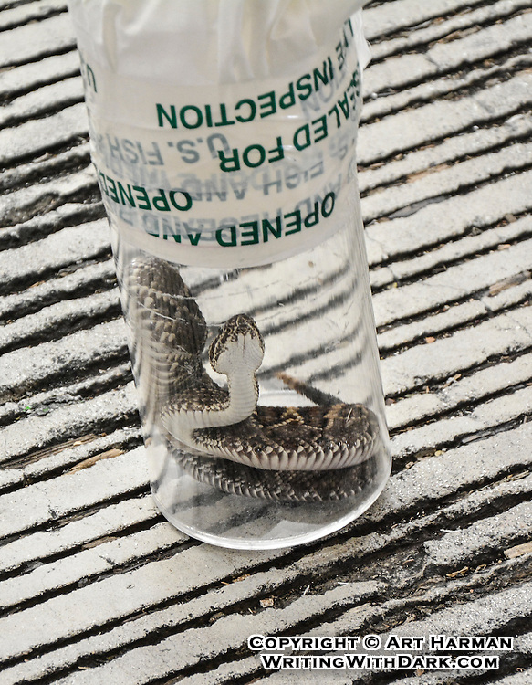 Snakes on a plane--literally. By Art Harman. Customs inspection of poisonous-venomous cargo at Miami International Airport.