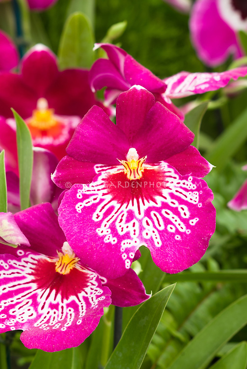 Miltoniopsis dark pink Miltonia waterfall type orchid hybrid with striking pink, red, yellow patterns , Miltoniopsis Newton Falls, hybrid