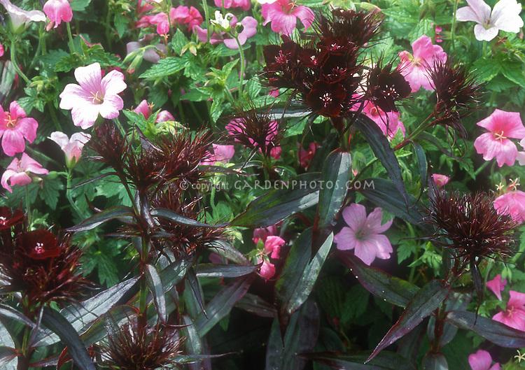 Dianthus barbatus 'Sooty' with Geranium