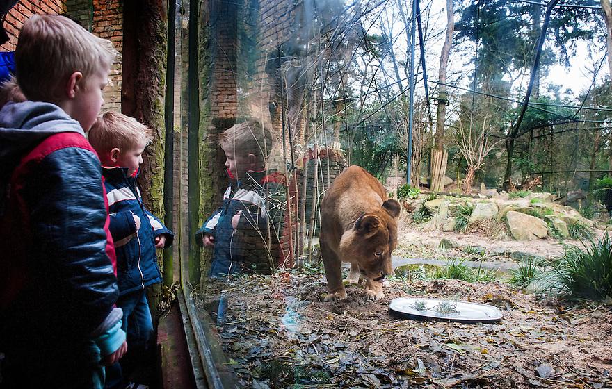 Nederland, Amersfoort, 4 jan 2014<br /> Wintersfeer in Dierenpark Amersfoort. Dieren krijgen extra verzorging. Kleine dieren een warmte lamp, grote dieren zoals de leeuwen vanwege de feestdagen hun vlees op een presenteerblaadje.<br /> Kinderen kunnen een noten en fruitketting maken voor de vogels in hun tuin.<br /> <br /> Foto: Michiel Wijnbergh