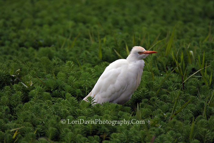 Cattle Egret  #E3