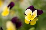 Ornamental Pansy Flower, garden, Kent UK