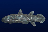deep sea, coelacanth, Latimeria chalumnae, model, once thought to be extinct, is found in deep water caves around islands off the coasts of Africa and Indonesia
