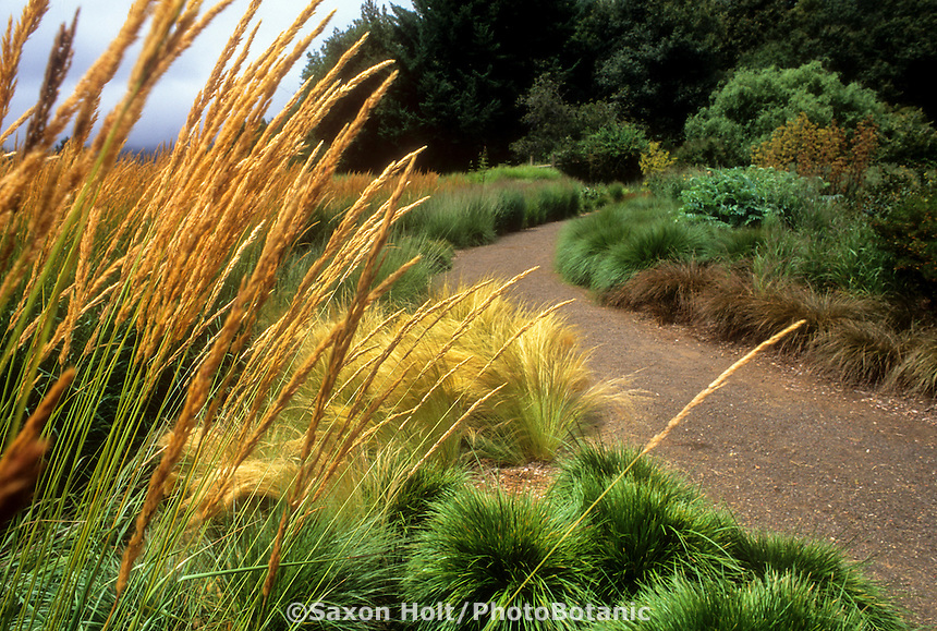 Calamagrostis acutiflora 'Karl Foerster' (Feather Reed Grass) by California meadow garden pathway.