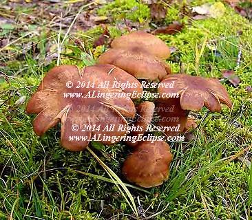 Wild Mushroom Cluster Growing , Forest Floor
