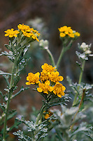 Eriophyllum confertiflorum (Golden Yarrow; Wooly Sunflower) in flower