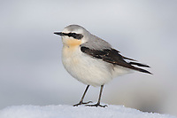 Adult male Northern Wheatear (Oenanthe oenanthe) in breeding plumage. Seward Peninsula, Alaska. May.