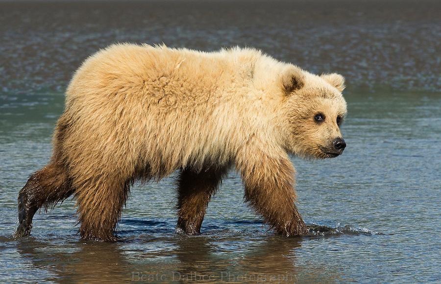 Alaskan brown bear cub clamming in the tidal flats of Lake Clark National Park, Alaska