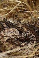 Gopher Snake seen all coiled up in southern Utah.