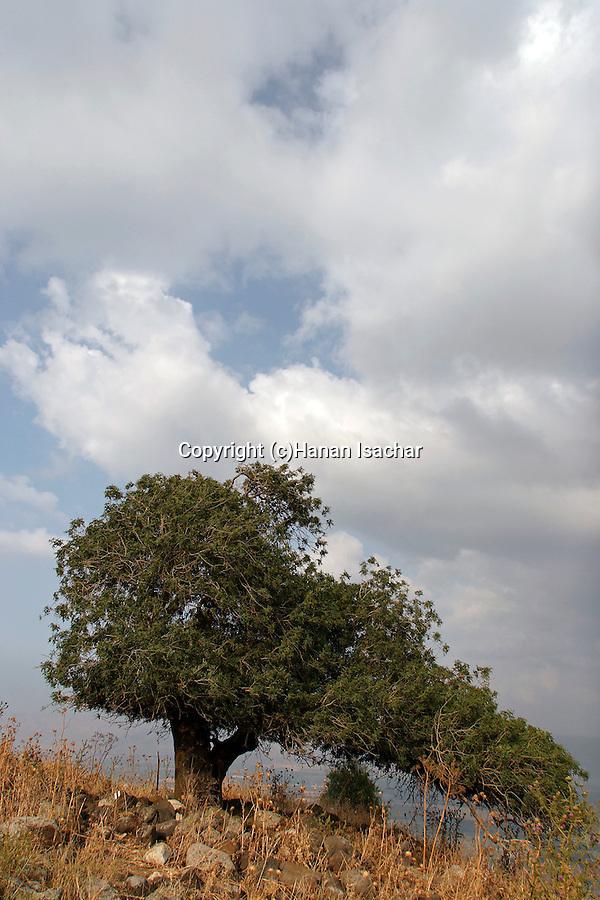 Israel, Issachar Heights. Atlantic Pistachio (Pistacia Atlantica) tree overlooking the Jordan Valley
