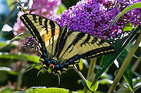 Western Tiger Swallowtail (Papilio rutulus) on butterfly bush,  Pacific Northwest.  Summer.