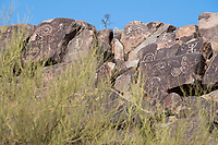 Petroglyphs can be seen on the rocks near the Signal Hill trail in Saguaro National Park West (Tucson Mountain District) near Tucson, Arizona, USA.