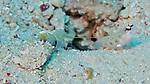 Shrimp Goby & Shrimp, Banda Sea, Indonesia