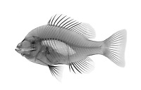 An X-ray of a sunfish.  The Pumpkinseed (Lepomis gibbosus) is a common freshwater species in the Northern United States. It is a favorite with young anglers and is classified as a pan fish. This species has been introduced to other parts of the United States and Europe.
