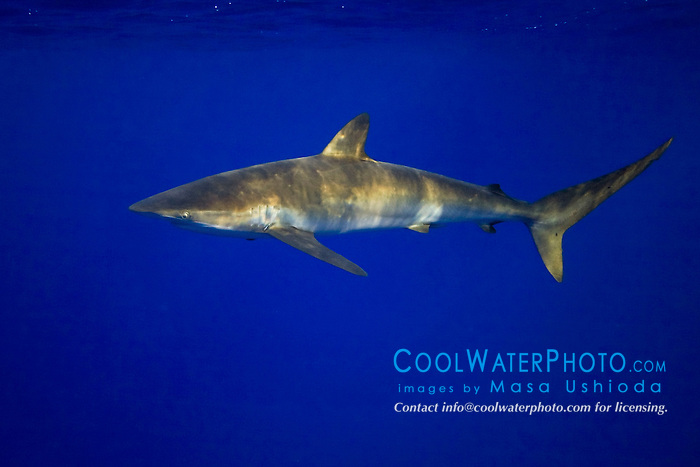 Silky Shark, Carcharhinus falciformis, off Kohala Coast, Big Island, Hawaii, Pacific Ocean.