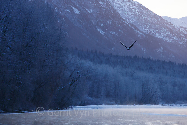 Bald Eagle (Haliaeetus leucocephalus) in flight over the Chilkat River. Southeast, Alaska. December.