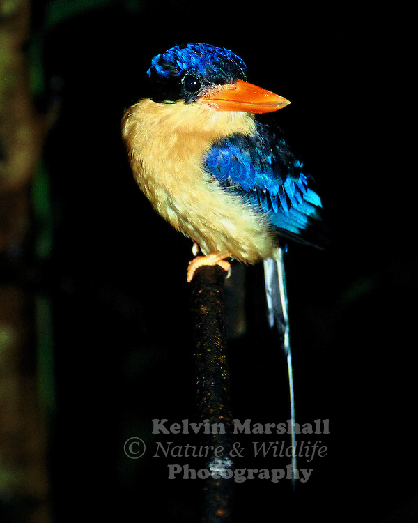 The Buff - breasted Paradise - Kingfisher is a breeding migrant from New Guinea present from October-April. The birds all arrive at the same time, usually at night, and are ready to start breeding, begin to establish their own territory, choose a nest site and seek a mate straight away. Will often use the same termite mounds as previous years and start digging soon after arrival if conditions are good. Locally common in a restricted range, choosing lowland rain forest with open ground, scrubby mountain gullies, riverside vine scrub and well vegetated gardens from Cape York to Townsville.