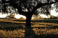 Holm oak, Quercus ilex, Dehesa landscape <br /> Campanarios de Az&aacute;ba reserve, Salamanca Region, Castilla y Le&oacute;n, Spain