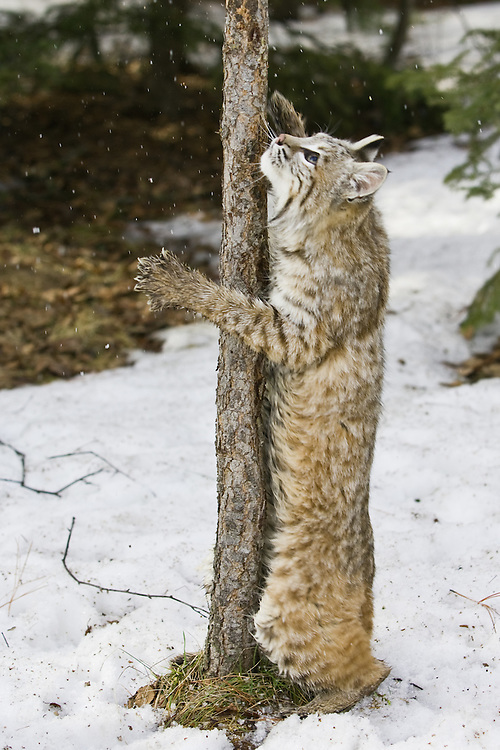 Bobcat trying to get at prey in a tree - CA